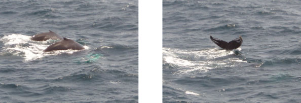 Picture of two humpback whales off the sides of the JOIDES Resolution.
